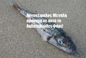 Λαγοκέφαλος: Μεγάλη προσοχή σε αυτό το δηλητηριώδες ψάρι!
