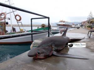 Ψάρεψαν καρχαρία 4 μέτρων και 250 κιλών!