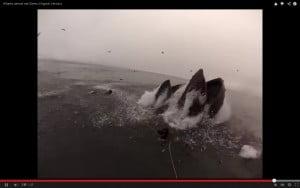 Φάλαινα, σχεδόν, θα έτρωγε δύτη
