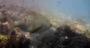 Ψάρεμα για μεγάλες σάλπες με πολυάγκιστρο και μερικές μικρές που απελευθερώθηκαν