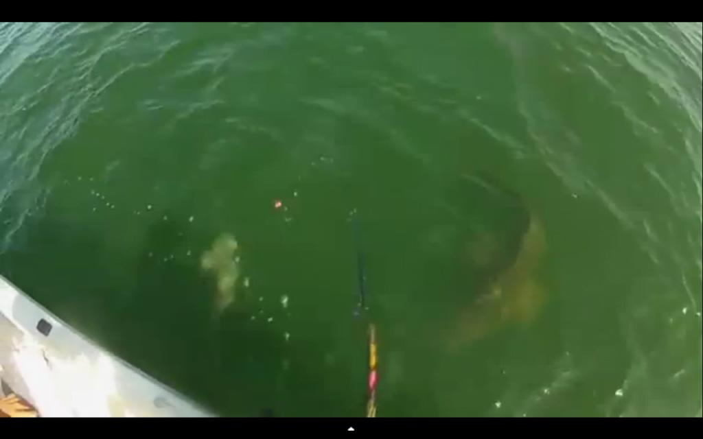 Καρχαρίας, έγινε δόλωμα σε σφυρίδα!!!