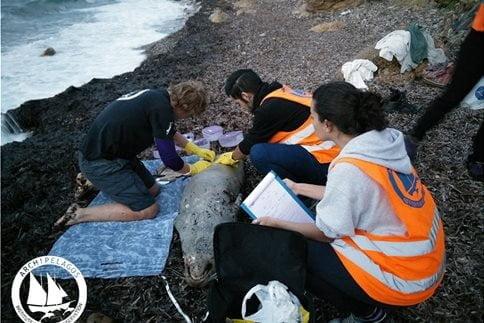 Ασυνείδητοι ψαράδες εξόντωσαν με δυναμίτη Μεσογειακή Φώκια