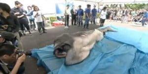 Σπάνιος μεγαλόστομος (και πλαδαρός) καρχαρίας στην Ιαπωνία