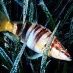 Ελληνικό ψάρι με υψηλό IQ κοροϊδεύει τους ψαράδες
