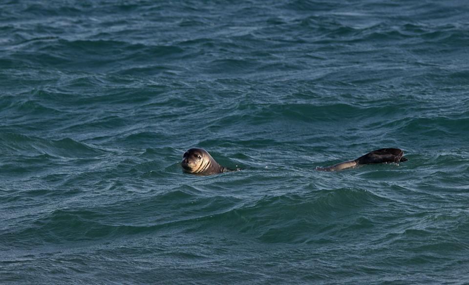 Η μεσογειακή φώκια, είδος υπό εξαφάνιση, εμφανίστηκε σε παραλίες …