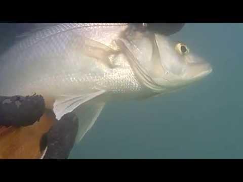 Λαυράκια μεγάλα στα θολά ψαροντούφεκο seabass