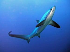 Ψαράδες έπιασαν καρχαρία ενός μέτρου στον Παγασητικό