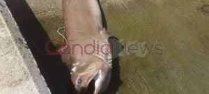 Απίστευτη ψαριά: Καρχαρία τριών μέτρων έπιασαν ψαράδες