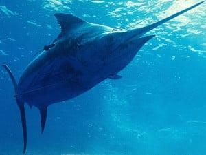 Απαγόρευση Αλιείας Ξιφία από την 1η Οκτώβρη