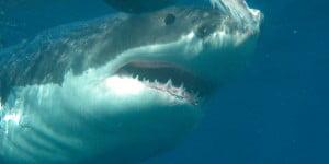 Χωρίς έλεος: Λευκός καρχαρίας καταβροχθίζει φώκια