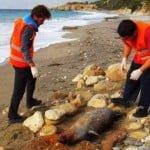 Σάμος: Μεσογειακή φώκια νεκρή από ψάρεμα με δυναμίτη στη θάλασσα