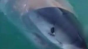 Μεγάλος λευκός καρχαρίας επιτίθεται και δαγκώνει σκάφος