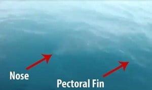 Δέος για τον τεράστιο καρχαρία που «επισκέφθηκε» ψαράδες