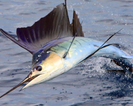 Αναστέλλονται οι άδειες για το ψάρεμα του ξιφία της Μεσογείου