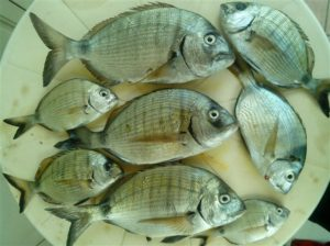 Το ψάρεμα του Σαργού