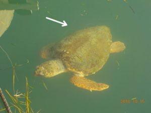 Κι άλλη χελώνα πιασμένη σε αγκίστρι και πετονιά στο Αργοστόλι