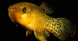 Εντοπίστηκε το πρώτο μεταλλαγμένο ψάρι 8.000 φορές πιο ανθεκτικό στην τοξική μόλυνση