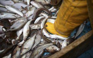 Τα ψάρια εξαφανίζονται με πολύ ταχύτερο ρυθμό από ό,τι πιστεύαμε