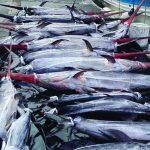 Μεγάλη ψαριά από.. ξιφίες στο Καστελόριζο
