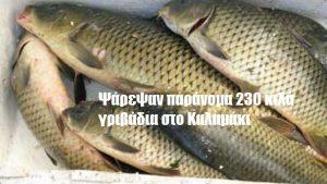 Ψάρεψαν παράνομα 230 κιλά γριβάδια στο Καλαμάκι