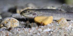 Ψάρι των σπηλαίων στην Κωνσταντία