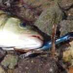 Ψάρεμα με το τεχνητό FCM 105 της Yokozuna!