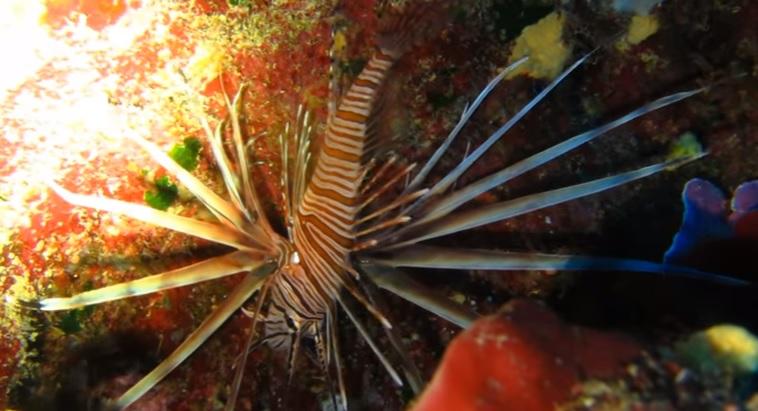 Λεοντόψαρο εντοπίστηκε στη θαλάσσια περιοχή Τελένδου Καλύμνου