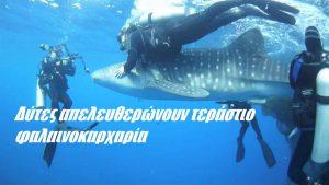 Δύτες απελευθερώνουν τεράστιο φαλαινοκαρχαρία