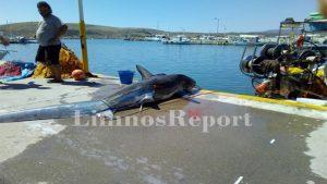 Λήμνος: Έπιασαν καρχαρία 200 κιλών και 2,5 μέτρων