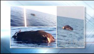 Λεμεσός: Βρέθηκε νεκρή αγελάδα που επέπλεε στη θάλασσα