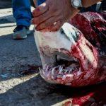 Ψάρεψαν καρχαρία 80 κιλών στην Λέσβο