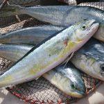 Ψάρεμα κυνηγός- λαπόρδα- μπακίρι: Γνωριμία πότε & τεχνικές για την σύλληψη του