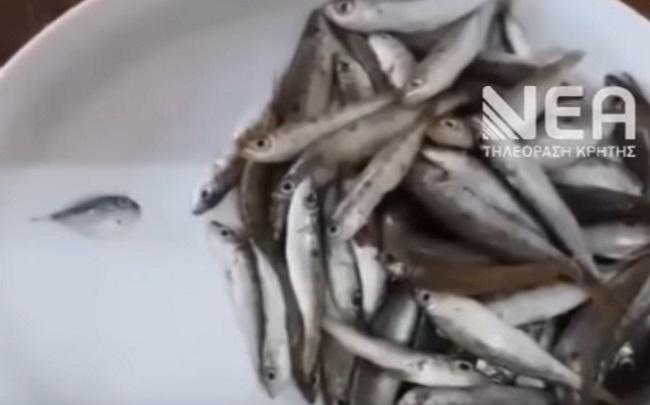 Λαγοκέφαλος ανάμεσα στις μαρίδες