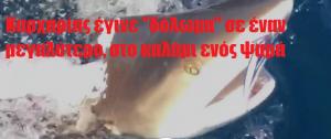 """Καρχαρίας έγινε """"δόλωμα"""" σε έναν μεγαλύτερο, στο καλάμι ενός ψαρά!"""