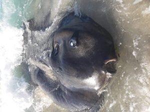Φεγγρόψαρο τεραστίων διαστάσεων σε παραλία της Μύλου